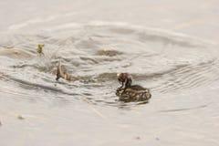Plongée de petit grèbe (Dabchick) pour la nourriture Photo libre de droits