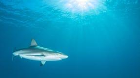 Plongée de requin Photographie stock