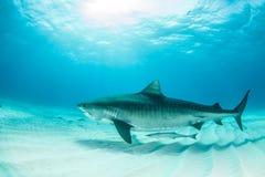 Plongée de requin Photos libres de droits