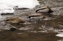 Plongée de trois canards Images stock