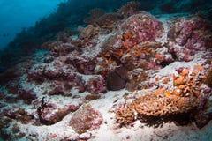 plongée des Maldives Photographie stock libre de droits