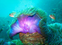 Plongée Koh Tao Purple Sea Anemone Images stock
