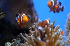 Plongeant dans l'Okinawa, le Japon image libre de droits
