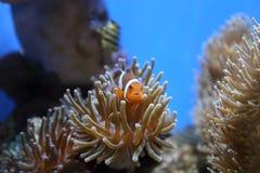 Plongeant dans l'Okinawa, le Japon images libres de droits