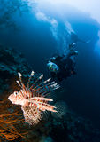Plongeur autonome et lionfish Photos stock
