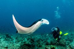 Plongeur autonome et Manta dans le portrait bleu de fond d'océan images libres de droits