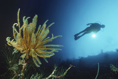 Plongeur autonome Swimming By Coral Reef And Feather Star Photo libre de droits