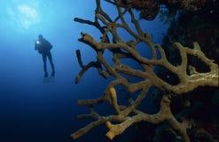 Plongeur avec les coraux colorés Photo stock