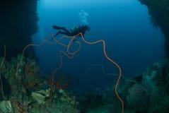 Plongeur, coraux de fil, fan de mer à Ambon, Maluku, photo sous-marine de l'Indonésie Photos libres de droits