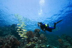 Plongeur et Goatfish Photos stock