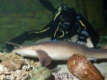 Plongeur et requin d'infirmière courageux Photographie stock libre de droits