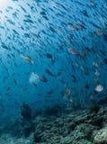 Plongeur Inside de Beaytiful Latina une école des poissons Photos stock