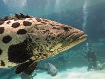 Plongeur, morue géante de pomme de terre (tukula d'Epinephelus) Photographie stock
