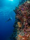 Plongeur photographiant le mur de corail spectaculaire images stock