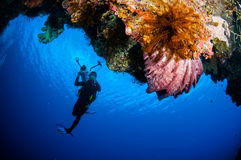 Plongeur, PS de Xestospongia d'éponge de baril dans Banda, photo sous-marine de l'Indonésie image libre de droits