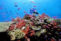 Plongeur sur le récif d'astrolabe Photographie stock