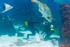 Plongeurs avec le requin de tigre de sable Photographie stock libre de droits