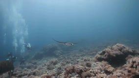 Plongeurs voyant le vol plané de rayon de manta de récif sur le récif coralien banque de vidéos