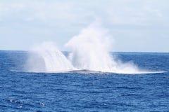 Plons van walvis het springen stock foto