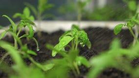 Plonsen van watervlieg aan de groene spruiten Langzame Motie zaailingen in een serre die een tuinman water geven Het concept van stock video