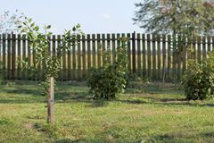 Summer in the garden. Plot with mown grass, young apricot tree and currant bushes Royalty Free Stock Photos