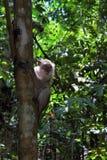 Plotseling van de steel verwijderd macaque Stock Foto