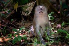Plotseling van de steel verwijderd macaque Stock Afbeeldingen