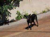 Plotseling Zwarte Bastaarde Hond royalty-vrije stock afbeeldingen