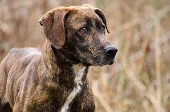 Plott Hound mixed breed dog. Brindle Plott Hound mixed breed dog, outdoor pet photography, humane society adoption photo, Walton County Animal Shelter, Georgia Stock Photography