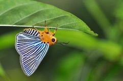 Plotz Green Awl butterfly Royalty Free Stock Images