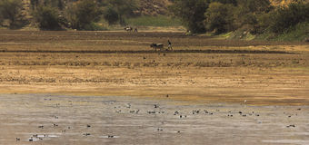Plough Land. With livestock in rural India Royalty Free Stock Photo