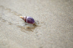 Plough Snail (Bullia digitalis) Royalty Free Stock Photography