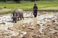 Plough with water buffalo Royalty Free Stock Photos