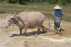 Plough with water buffalo Royalty Free Stock Images