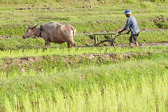 Plough with water buffalo, rice field Asia Royalty Free Stock Photos