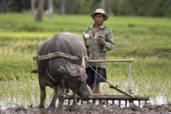 Plough With Water Buffalo Stock Image