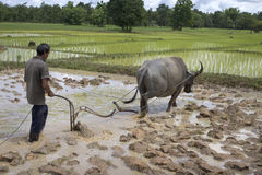 Plough With Water Buffalo Stock Images