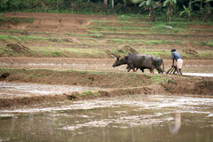 Ploughing A Paddyfield Stock Image