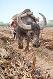 Ploughing field. A buffalo is ploughing field Stock Photography