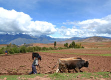 Ploughing the fields. In the Peruvian Andes Stock Photography