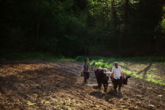 Ploughing with oxen. Stock Photo