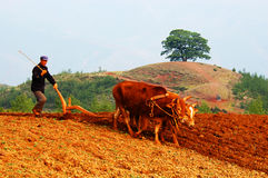 Ploughing with oxes Stock Images