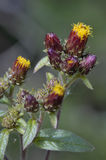 Ploughman`s Spikenard Royalty Free Stock Photography