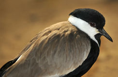 Plover Royalty Free Stock Photo
