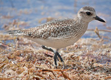 Plover Royalty Free Stock Photography