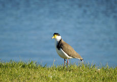 Plover Royalty Free Stock Image