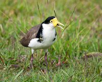 Plover. An australian plover sitting in the grass. Masked Lapwing (Vanellus miles Stock Image