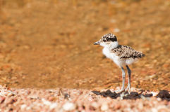 Plover Chick at Water Stock Photography