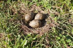 Plover Eggs in Nest Royalty Free Stock Photos