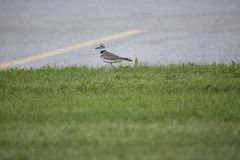 Plover on Grass Stock Photography